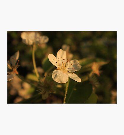 Pear Blossom Flower Macro Photographic Print