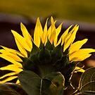 Sunflower Morning by Teri Argo