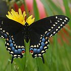 A Black Swallowtail butterfly and Yellow Flower by Robert deJonge