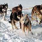 Wrong Way Sled Dog by Gina Ruttle  (Whalegeek)