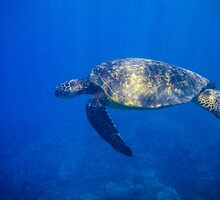 Turtle in the Blue by Veronika Gaudet
