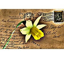 Daffodil on Vintage 1909 Postcard Photographic Print
