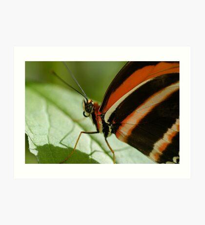 Banded Orange Butterfly on Flower Art Print
