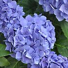 Grammy's Hydrangeas  by Corkle