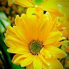 Daisy Daisies by Kathy Nairn