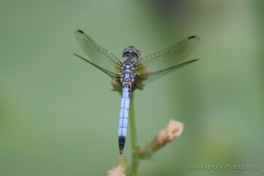 dragonfly by Jason Dymock Photography