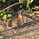 Cotton Tail by Walt Conklin