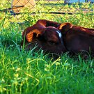 Baby calf by 079archie