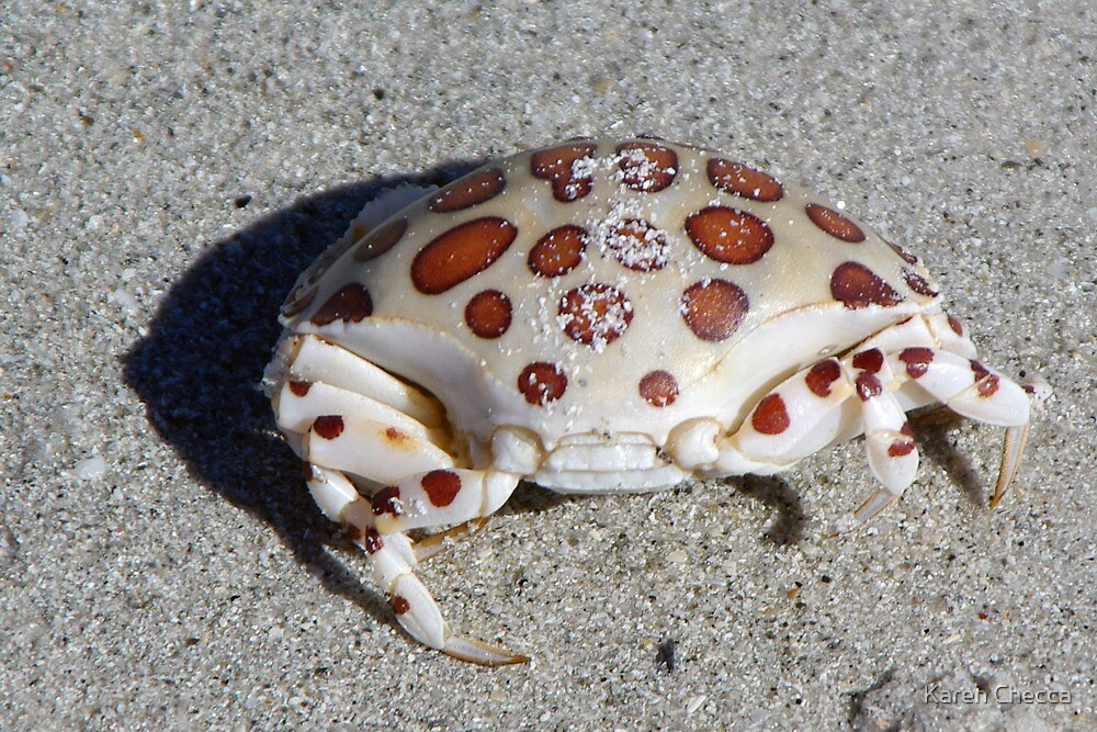 Spotted Crab by Karen Checca