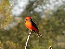 Vermilion Flycatcher by Kimberly Chadwick