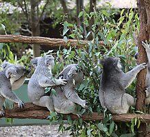 Five Koalas Sitting on a Branch by Robert Stephens