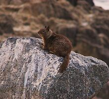 Monterey Squirrel by IsisMaatDesigns