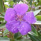 Rain drops on Lasiandra by scholara
