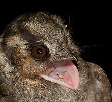 Australian Owlet-NightJar by Henry  Cook