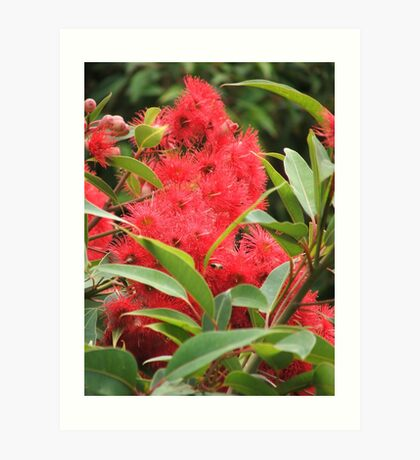 Red Eucalyptus Art Print