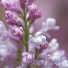 Lilac Symphony by Sarah-fiona Helme