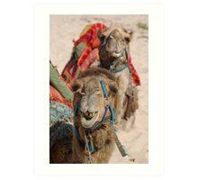 Victor Harbor Camels up close  Art Print