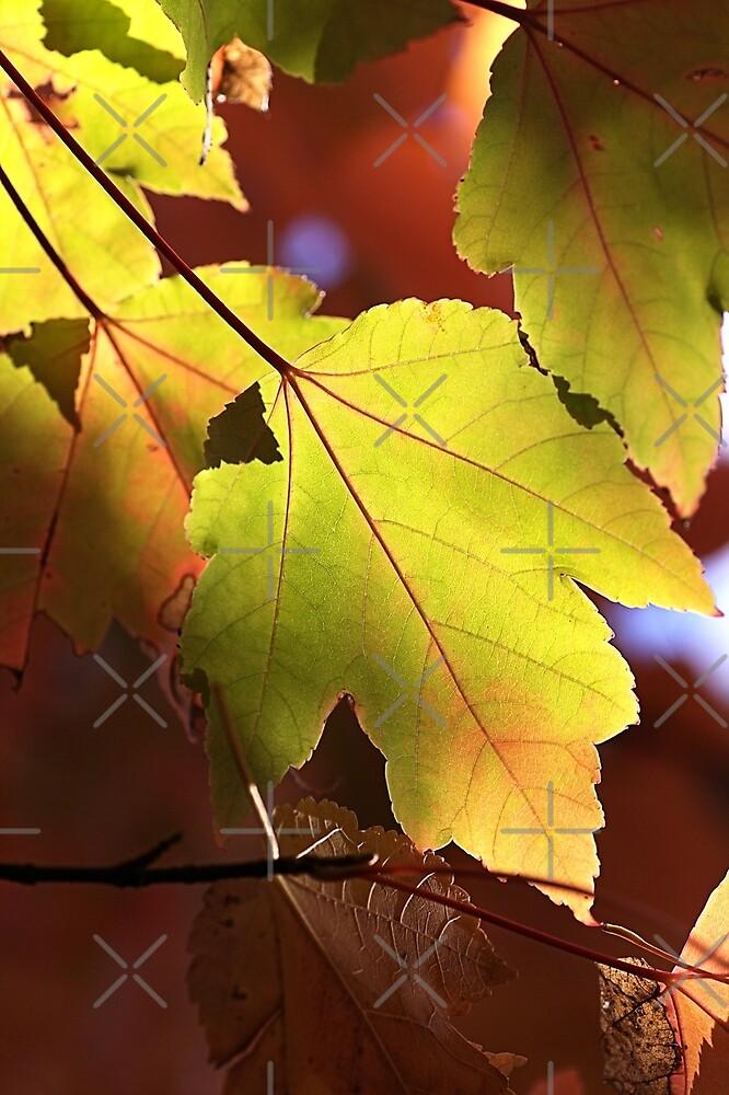Maple Leaves by Joy Watson