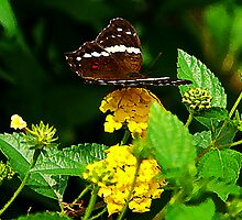 Black Butterfly on Yellow Lantana by Susan Savad