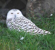 Snowy Owl by deb cole