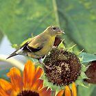 Gold Finch on a Sunflower by Bill Spengler