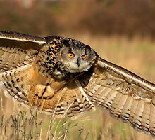 Eagle owl by Angi Wallace