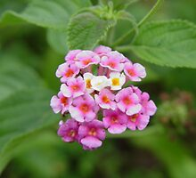 Small pink flowers by Annabella