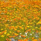 Californian Poppies by Phoxford