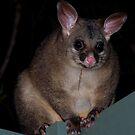 Brushtail Possum by KeepsakesPhotography Michael Rowley