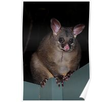 Brushtail Possum Poster