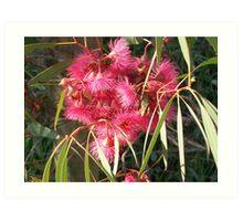 Eucalyptus sideroxylon Rosea. Art Print