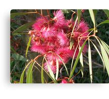Eucalyptus sideroxylon Rosea. Canvas Print
