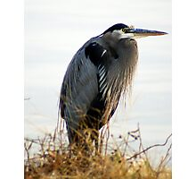 A Magnificent BLUE HERON.....on a cold Fall day..... Photographic Print
