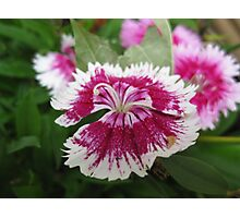 Dianthus Among Us Photographic Print