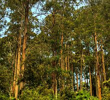 Forrest Elders - The Otways National Park - The HDR Experience by Philip Johnson