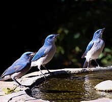 Scrubbing Up - Scrub Jays in Madera Canyon, Arizona by John Absher