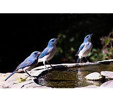 Scrubbing Up - Scrub Jays in Madera Canyon, Arizona Photographic Print