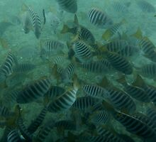 Zebra Fish below the Port Noarlunga Jetty by Dan & Emma Monceaux