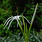 spider lily by gary roberts
