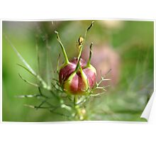 Nigella seed pod and spider  Poster