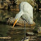 Great Egret Preening by Robert Abraham