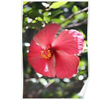 Looking down to a Hibiscus  Poster