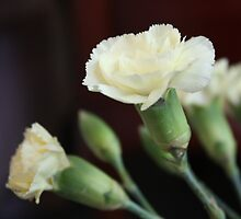 White Carnations by indi09