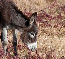Little Donkey Grazing in the Meadow by Bonnie T.  Barry