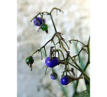 Blue Berries For Christmas Photographic Print