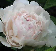 White Peony Bloom by art2plunder