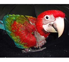 macaw 10 weeks Photographic Print
