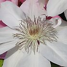 White Clematis 1 by art2plunder
