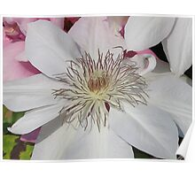 White Clematis 1 Poster
