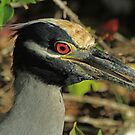 Night Heron Portrait by Robert Abraham